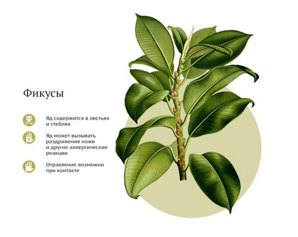 Описание вреда от растения